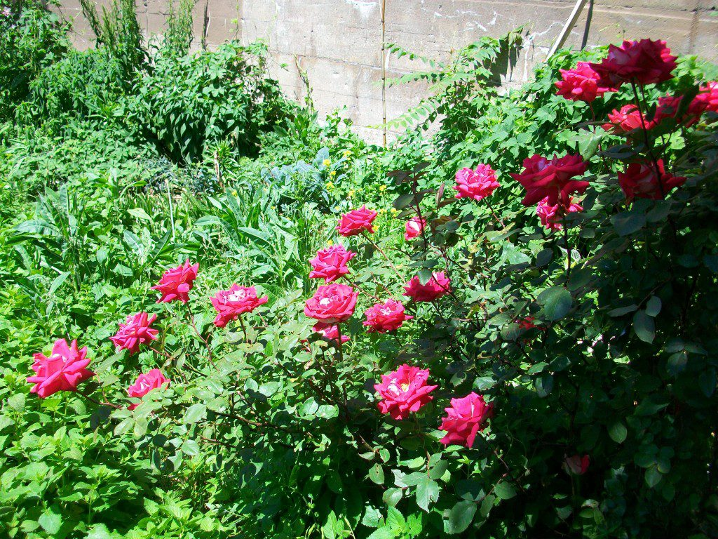 "I LOVE that this grandiflora rose's name is Love. All the roses in the garden were ""rescued"" from Home Depot mid-season three years ago for $2 apiece... I looked for over an hour through the remaining stock to find the heirloom roses and this one modern one that were least covered in black spot... they had it pretty bad for a year or so, but now are thriving with no spraying other than a bit of sulfur that first year. She's glorious!"